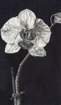 Black Orchid (Sold)